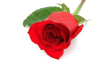 Rosa de color rojo