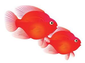 Dos peces loro color rojo